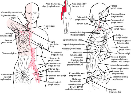 The Human Lymph System