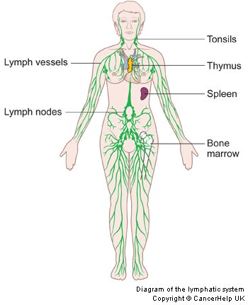 the lymphatic system | the lymph guy, Human Body