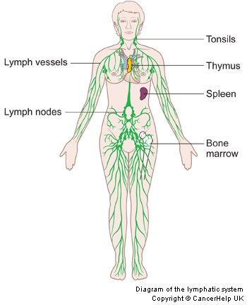 Blank Diagram Of Lymphatic System | Diagram